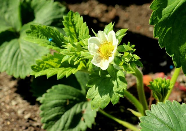 2 The range of different varieties available means that you will be able to find strawberries that suit your growing situation
