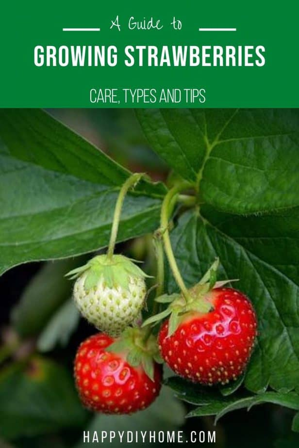 Growing Strawberries Canva 2