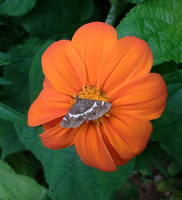20 Mexican Sunflower