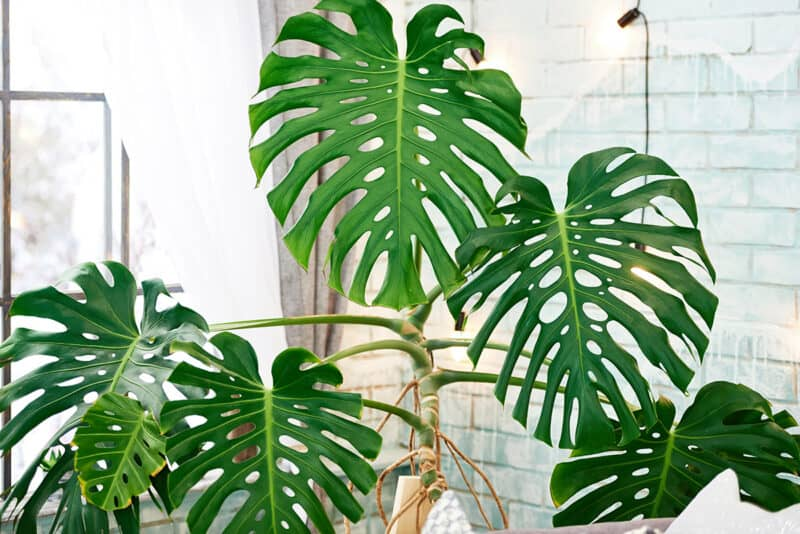 How to Care For the Monstera Plant
