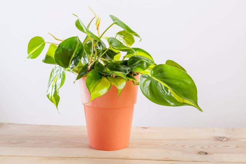 How to Care For This Iconic Houseplant