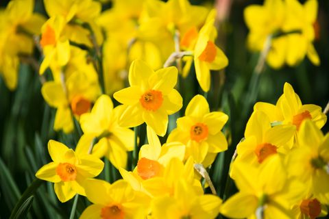 what to grow in November daffodils