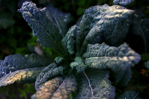 what to grow in november fresh kale in the garden