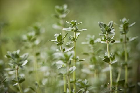 what to grow in november green thyme herb