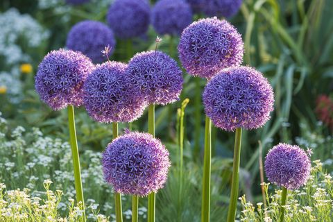 what to plant in november purple allium flowers