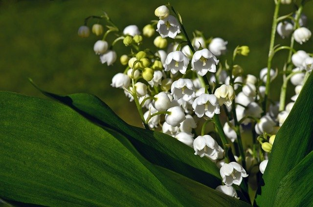 13 Lily of the Valley